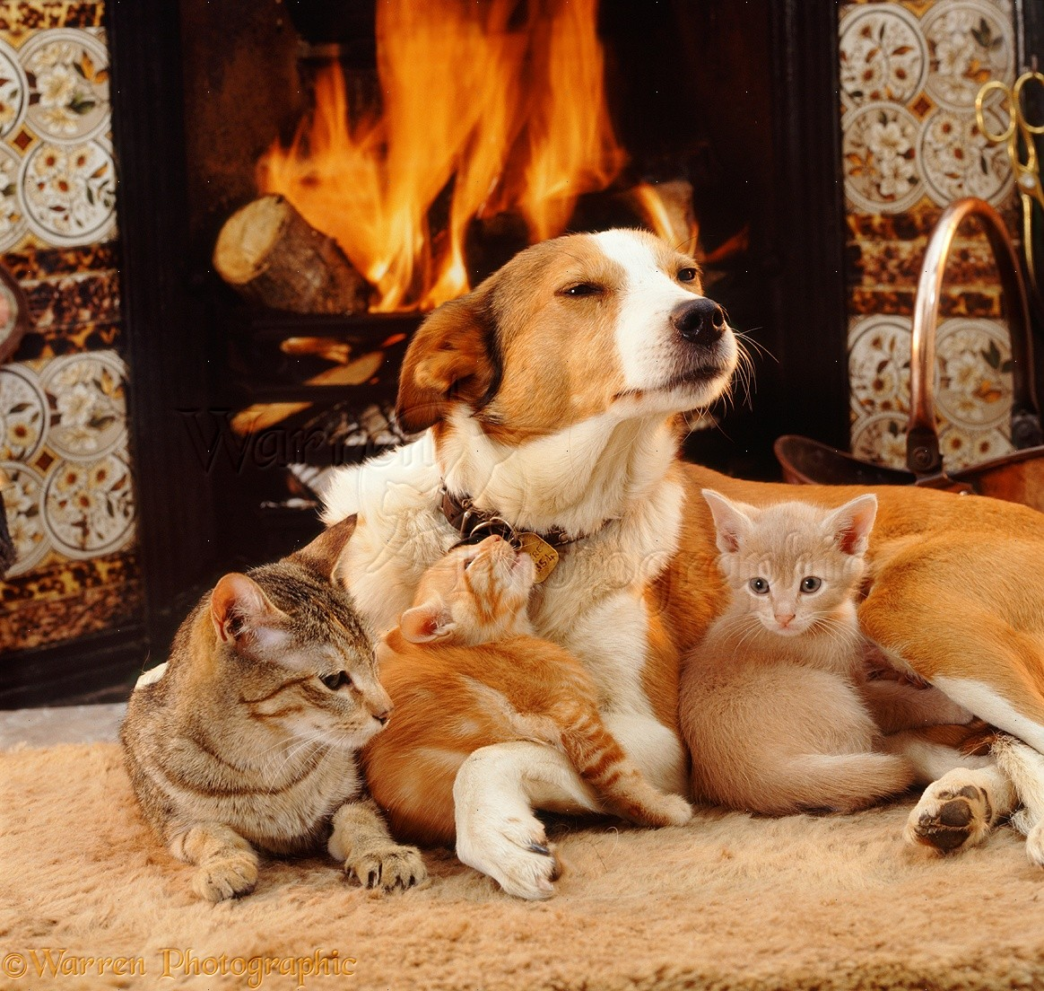 Pets Dog And Cats By The Fire Photo Wp08702