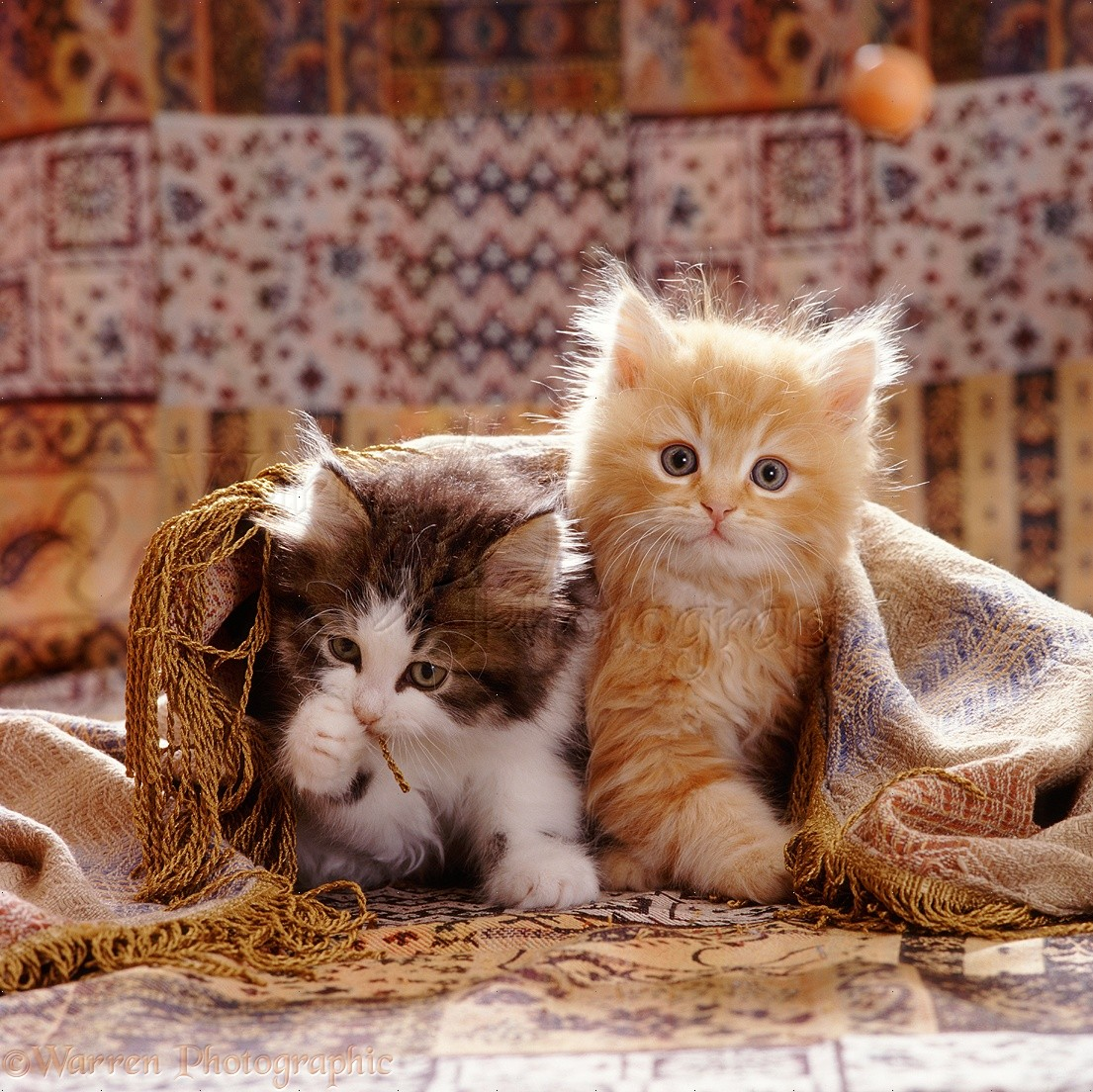 08711 Cute kittens with fringed cover