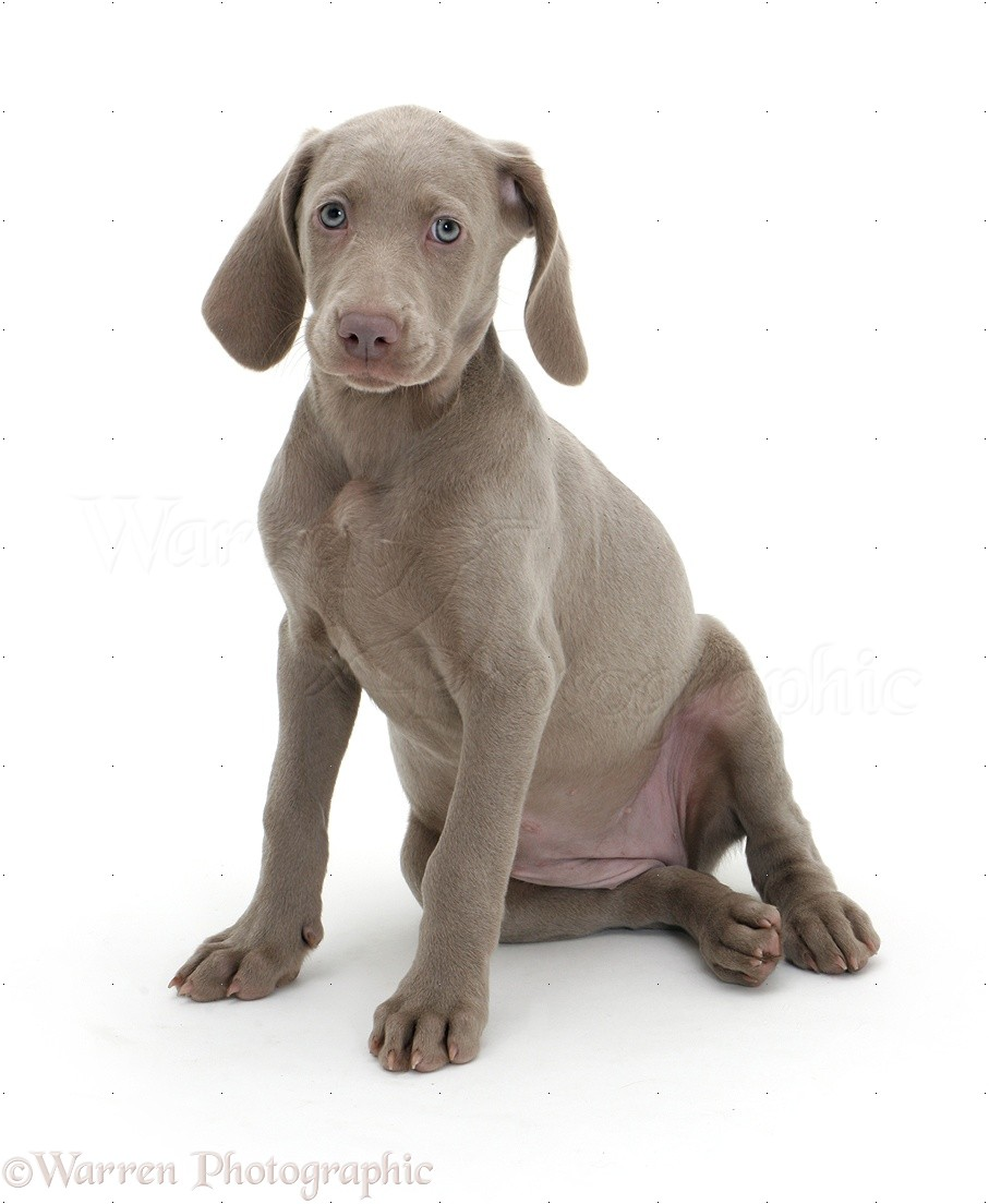 Dog Weimaraner Pup Photo Wp08714