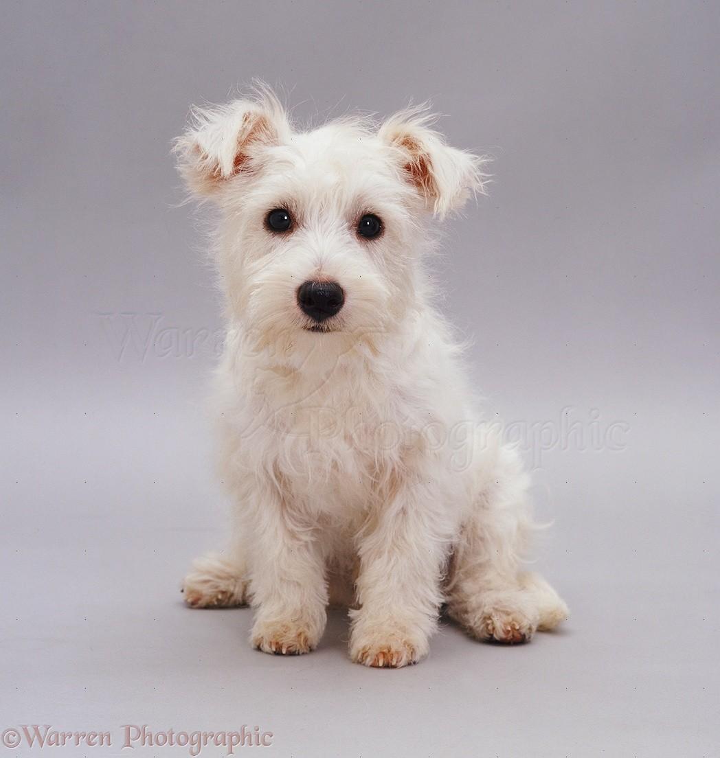 Dog Westie Pup Photo Wp08908