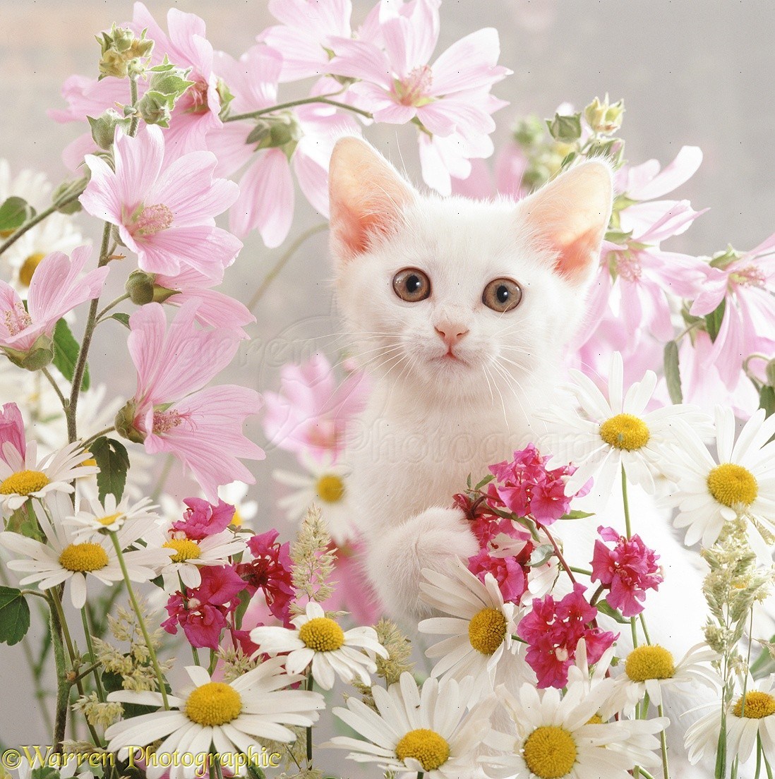 White kitten and pink flowers photo wp08971 portrait of white thisbe kitten among ox eye daisies mallow and clarkia double mightylinksfo