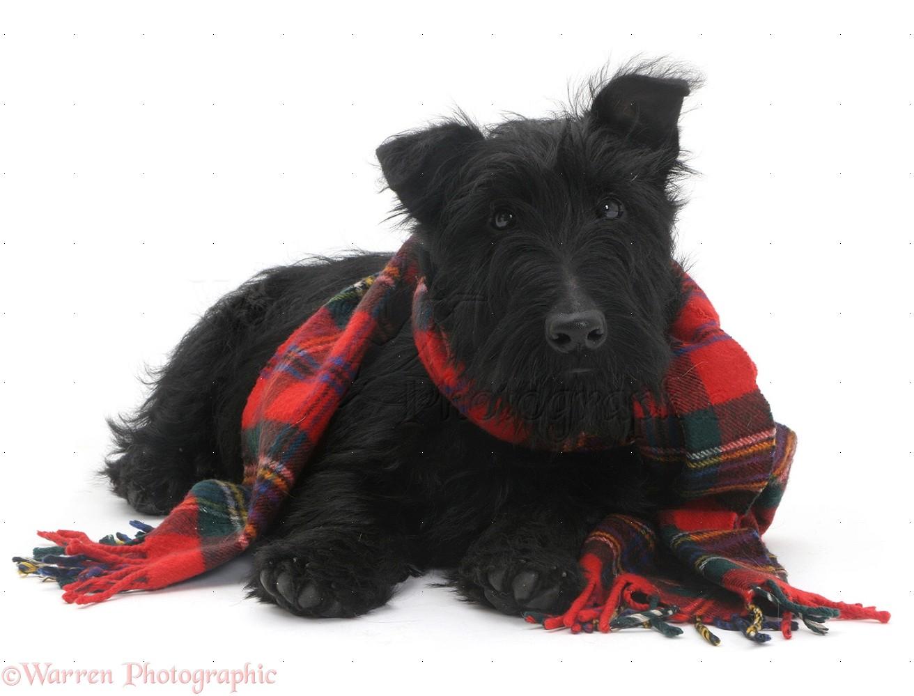 Scottie Dog With A Tartan Scarf Photo Wp08972