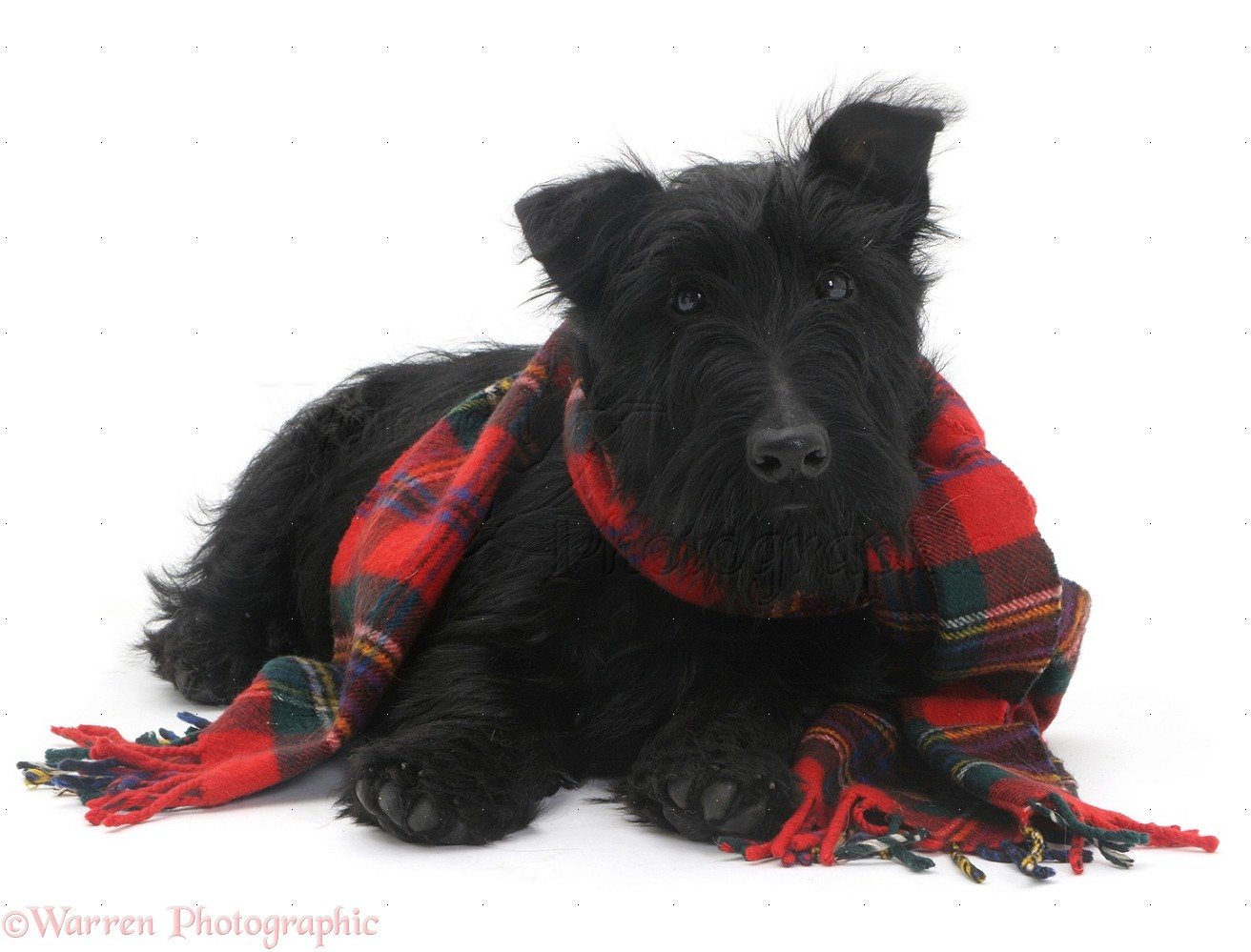 08972 Scottie dog with a tartan scarf white background - Scotland votes 'No'