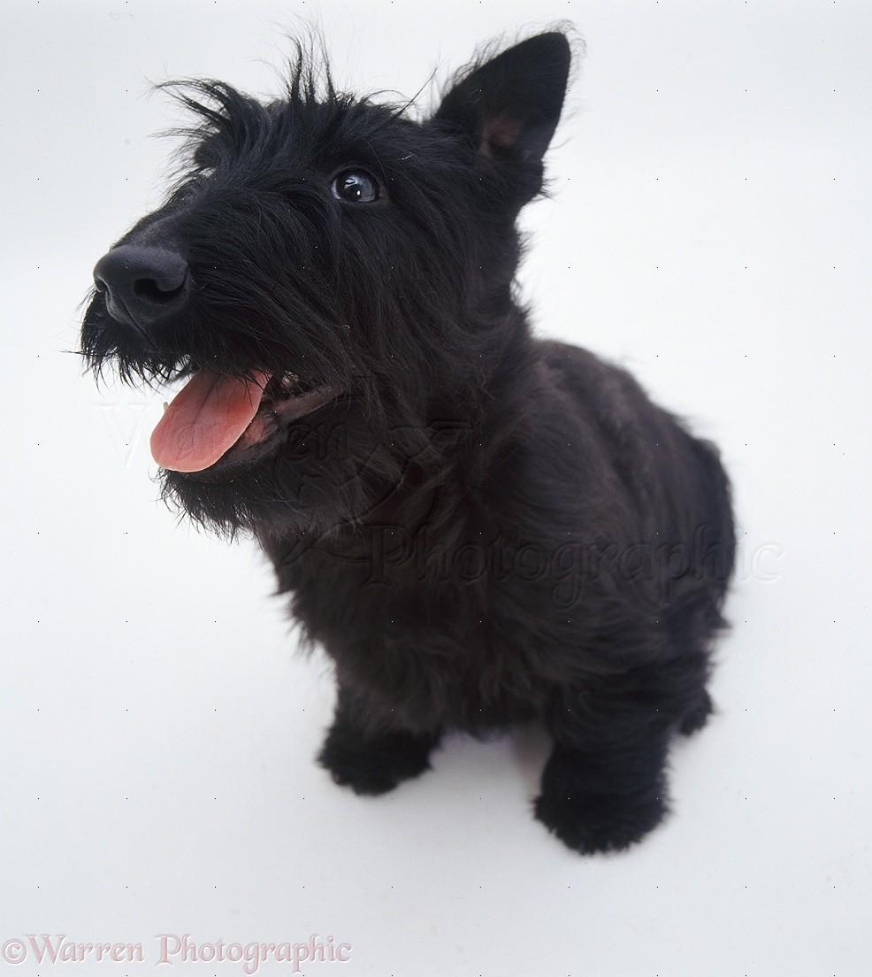 Scottie dog photo WP08...