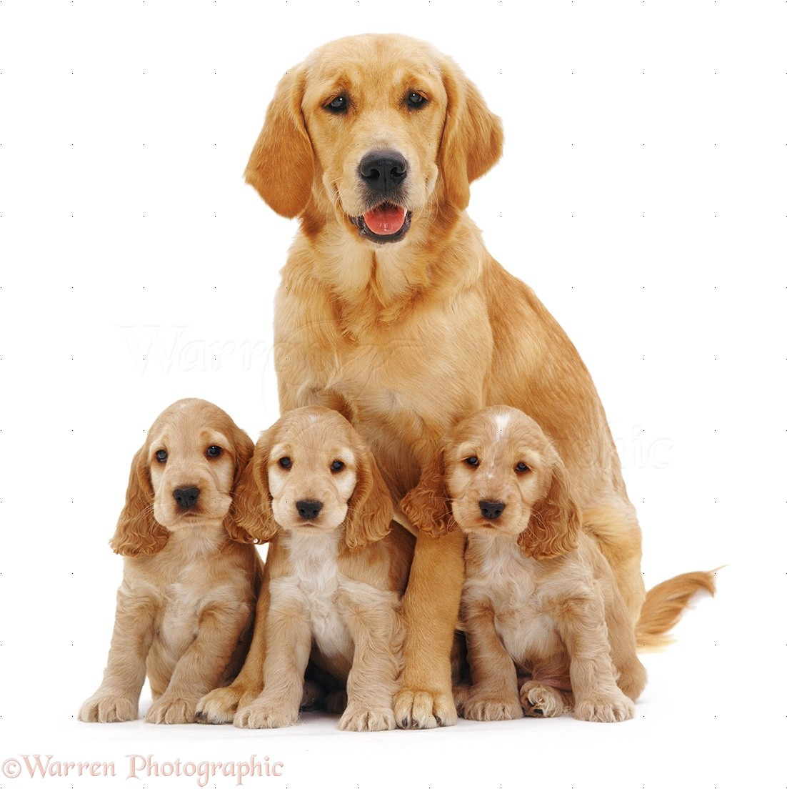 Dogs Golden Retriever With Spaniel Pups Photo Wp09028