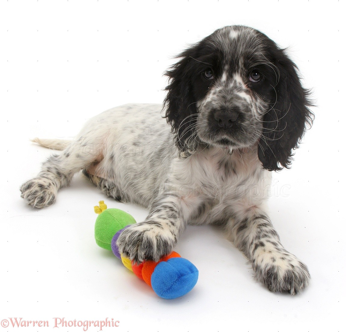 Cocker Spaniel puppy photo - WP09105
