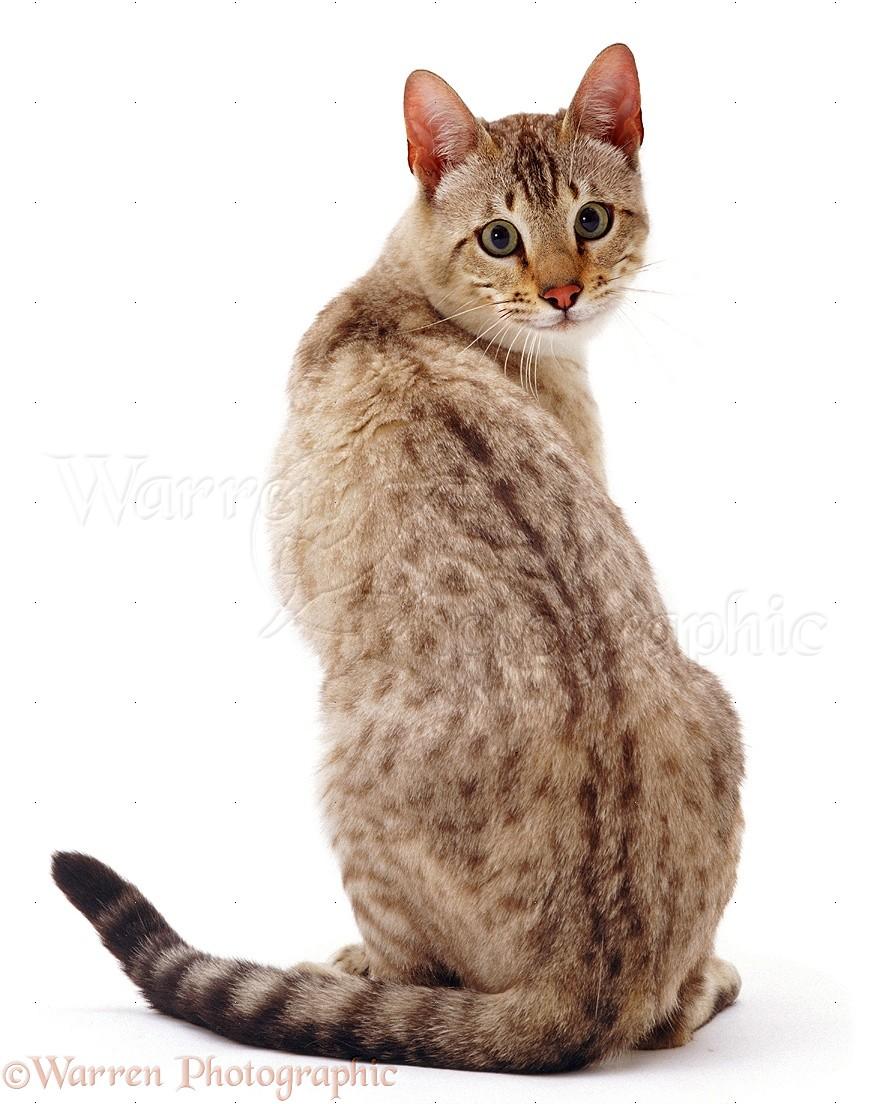 Shoulder Cat Breeds