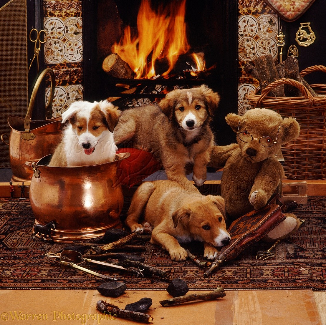 Dogs: Border Collie pups by fireplace photo WP09127