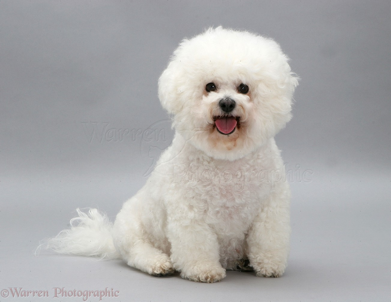 Bichon Frise photo - WP09228