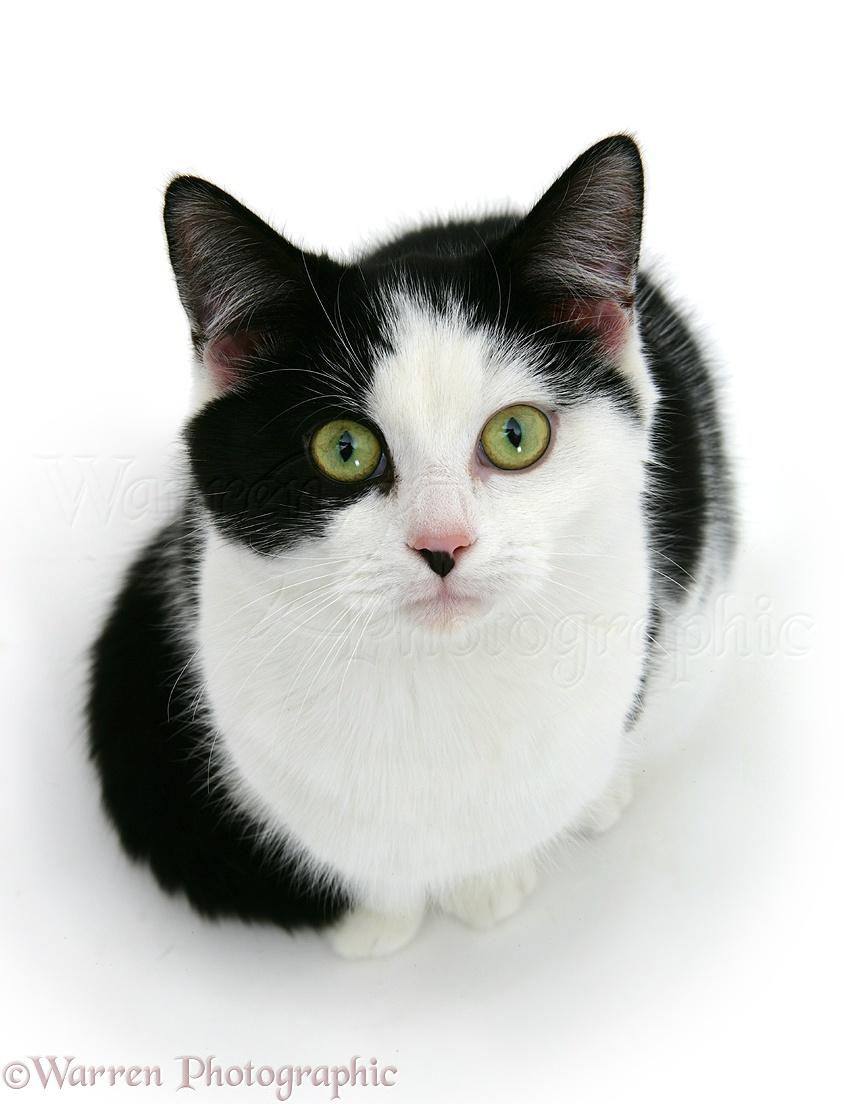 Black-and-white cat photo WP09255