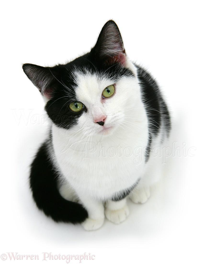09256-Black-and-white-cat-white-background.jpg