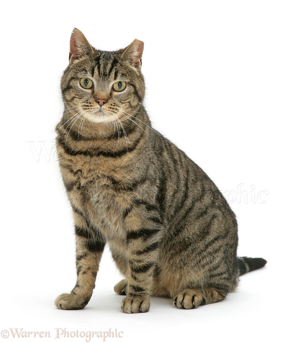 Pictures Of Tabby Cats And Kittens