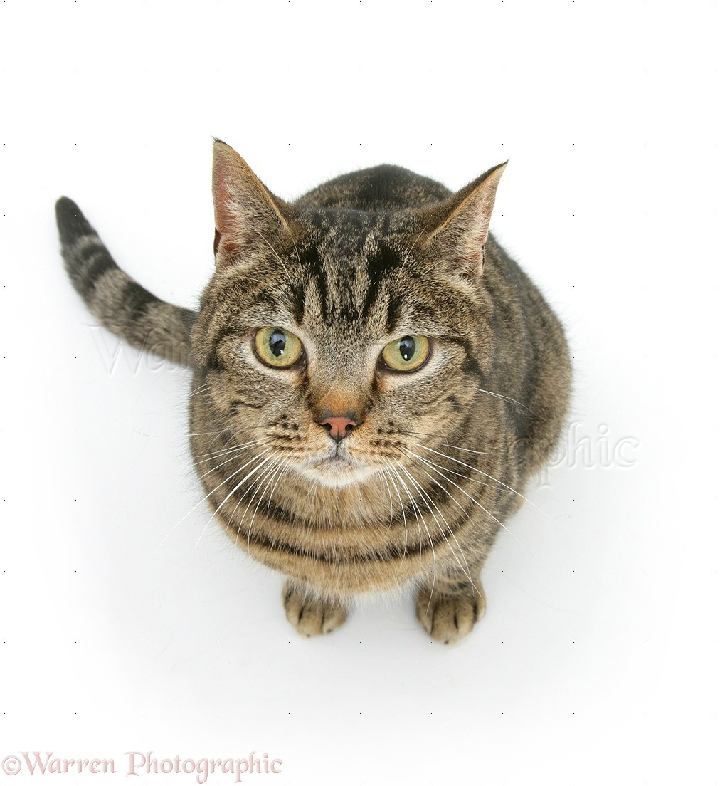 Space C Pc also Insect Collection Wild Nature 2744798 further 15079 Chocolate Birman Cross Cat also Original furthermore 09281 Tabby Cat Sitting Looking Up. on brown cat