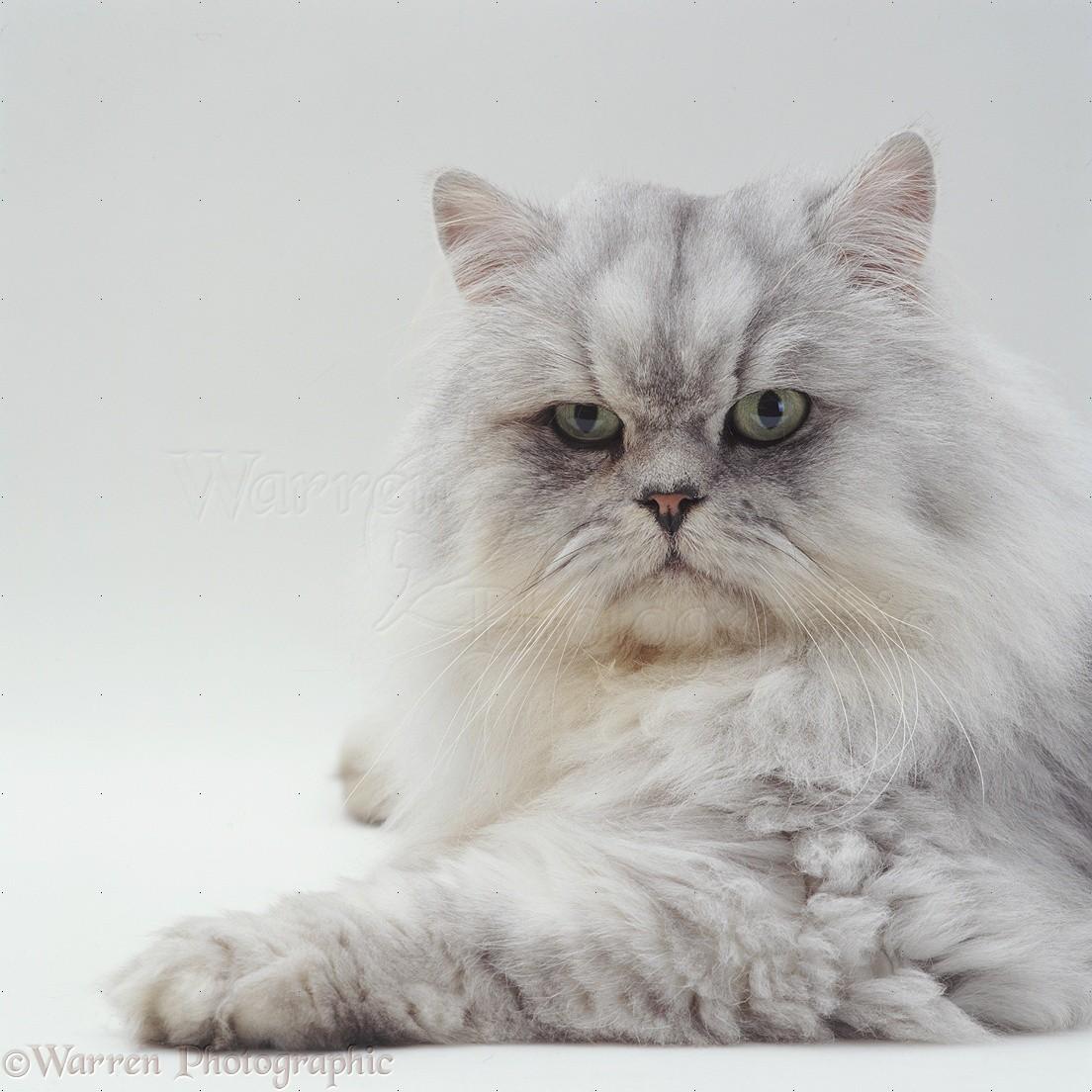 Persian White Tabby Cat