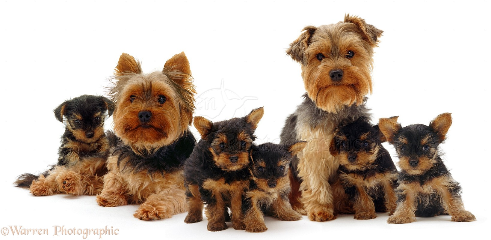 09342-Yorkie-family-white-background.jpg