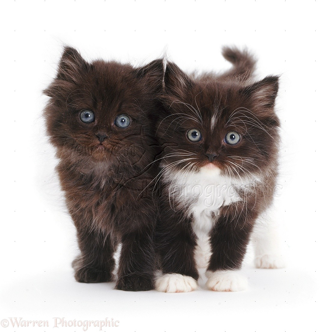 two cute fluffy kittens photo wp09346