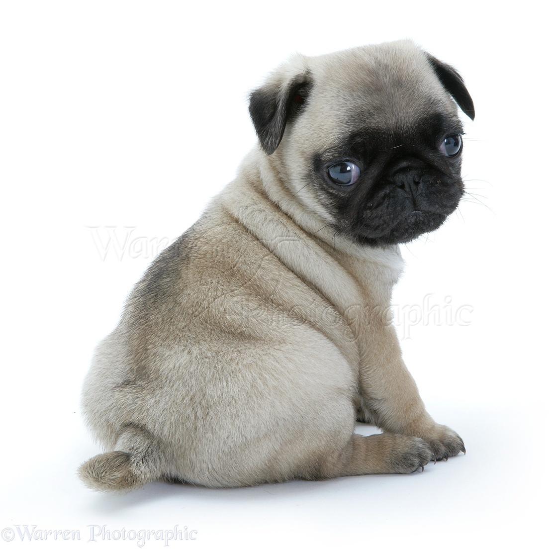 Dog: Pug pup sitting photo WP09382