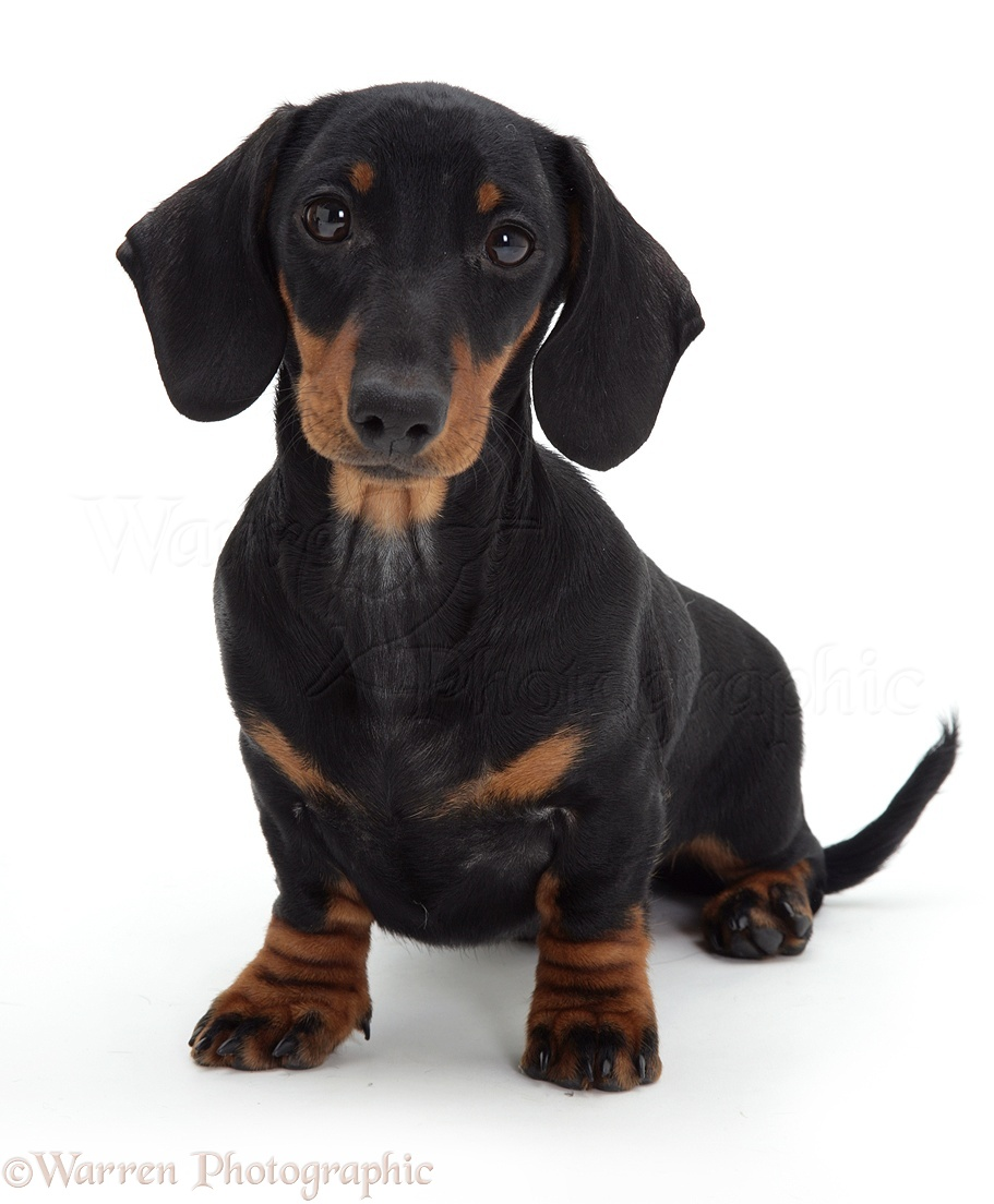 09969 Red Miniature Dachshund Pups Paws Over as well 09383 Black And Tan Dachshund Pup Sitting also 6 further 502 steiff dackel further I Sometimes Park. on dachshund