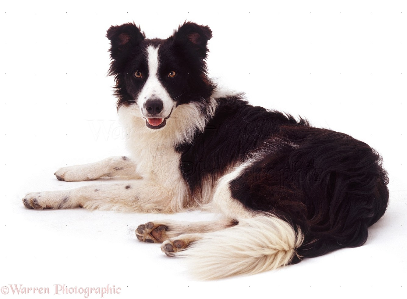 Dog Border Collie Pictures