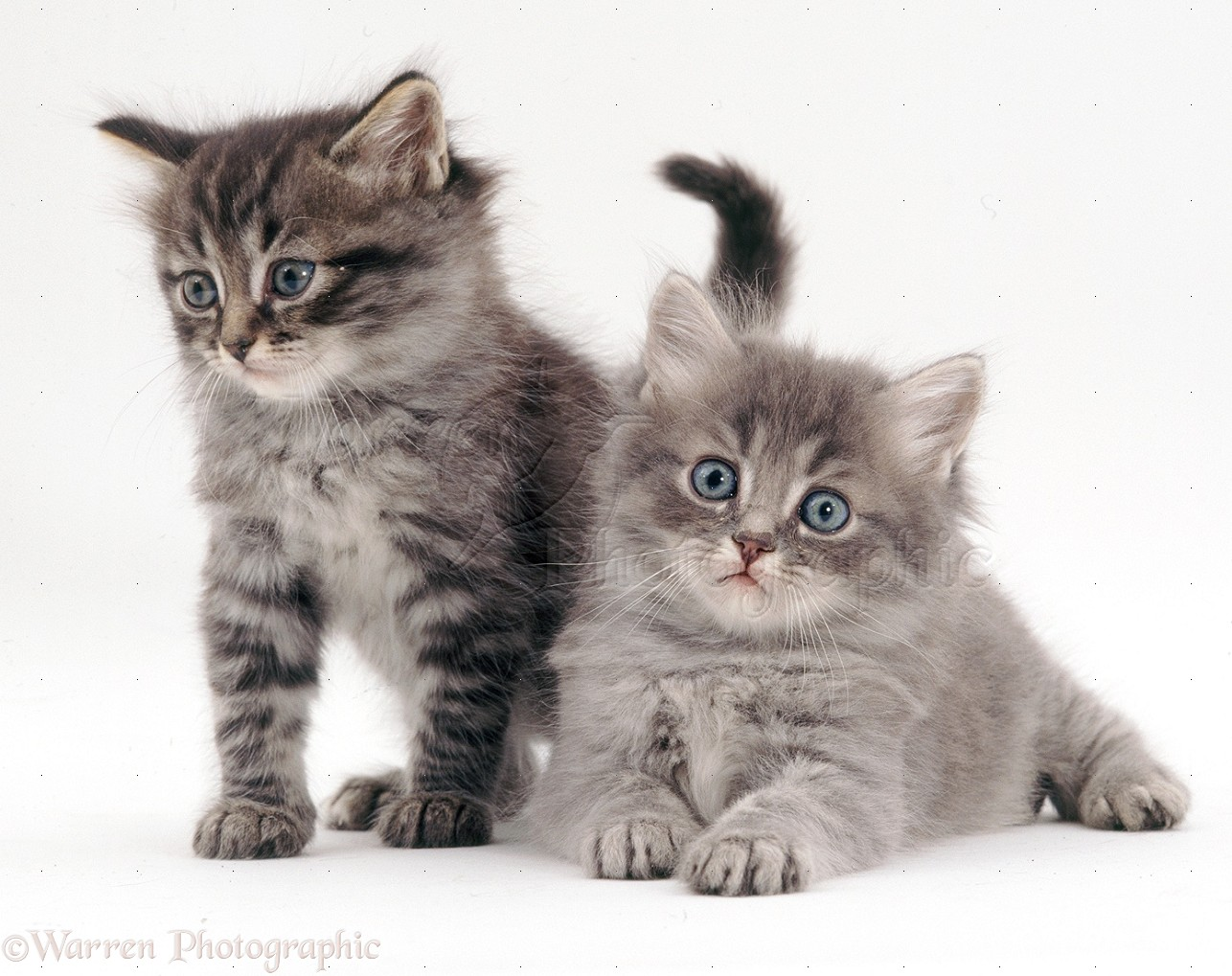 Related Pictures funny puppies and kittens chinese new year