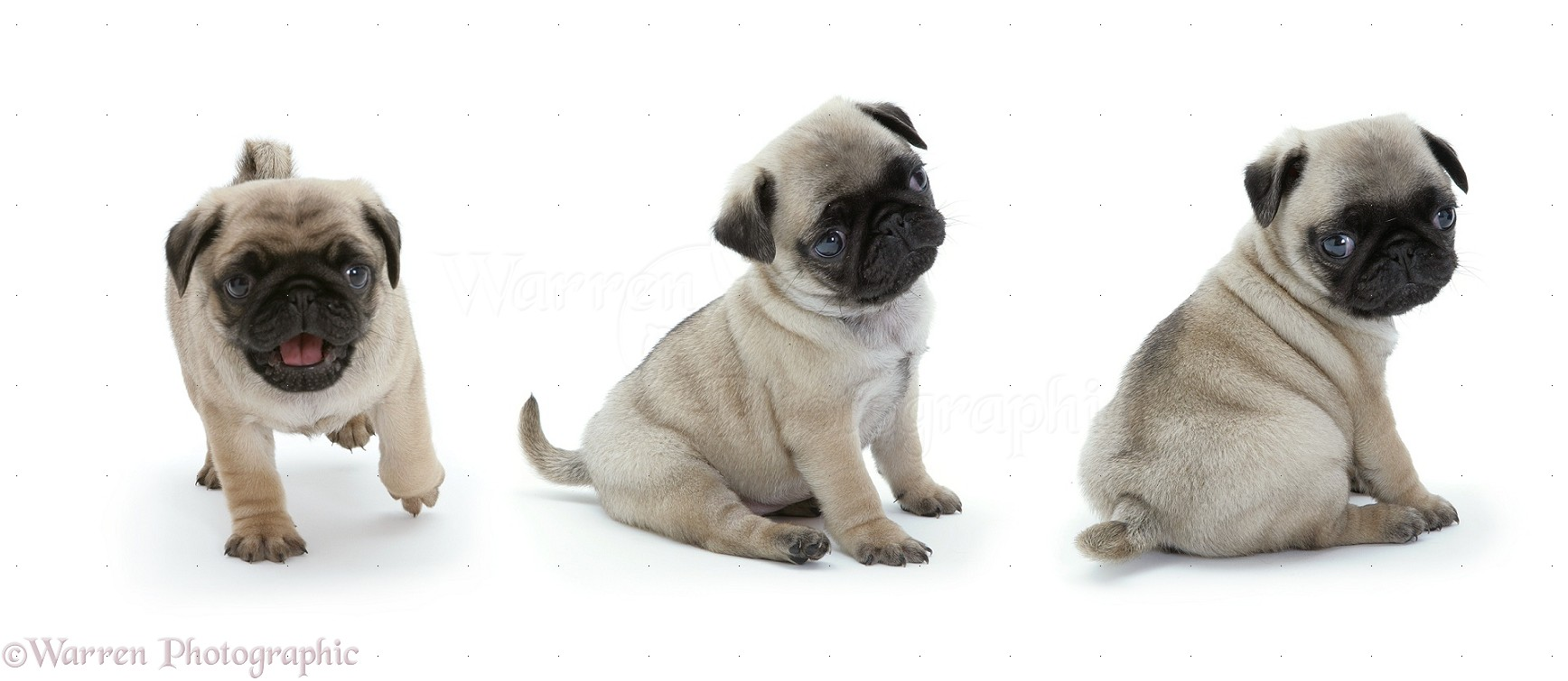 Dogs Pug Pups Photo Wp09431