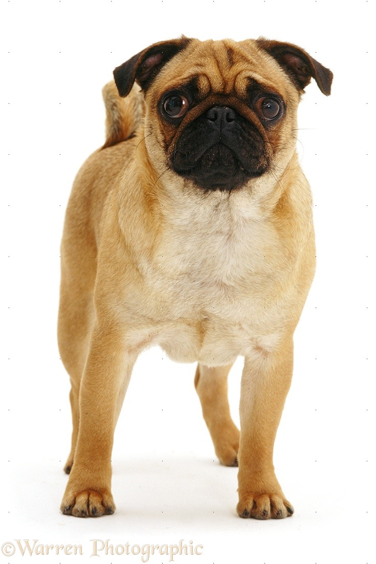wp09481 apricot pug bitch rosie 2 years old
