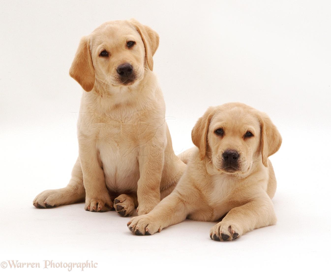 Yellow Background Dogs: Labrador pups ph...