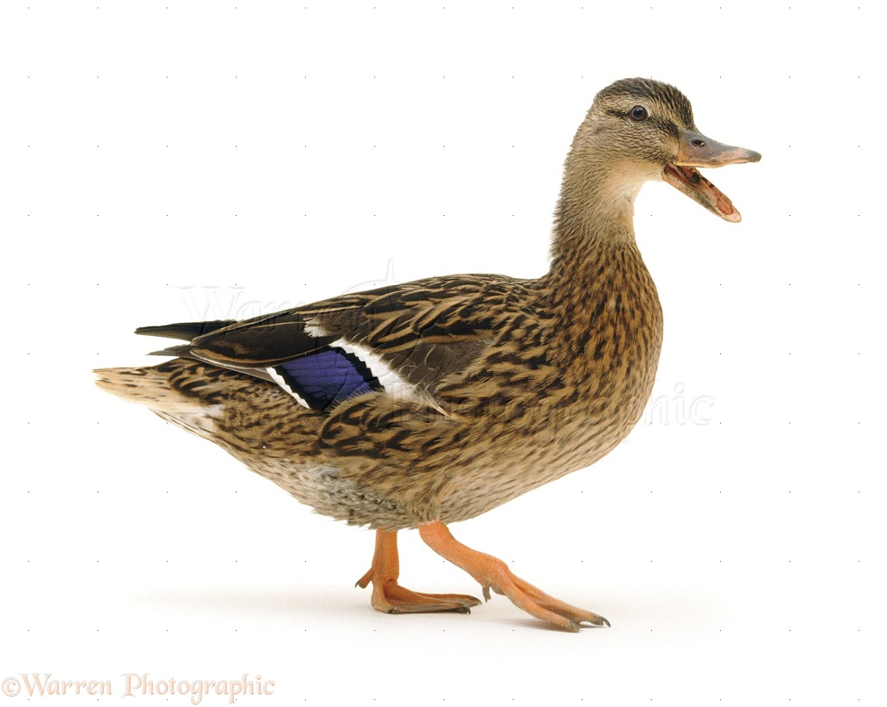 Duck White Background Pictures to Pin on Pinterest  PinsDaddy