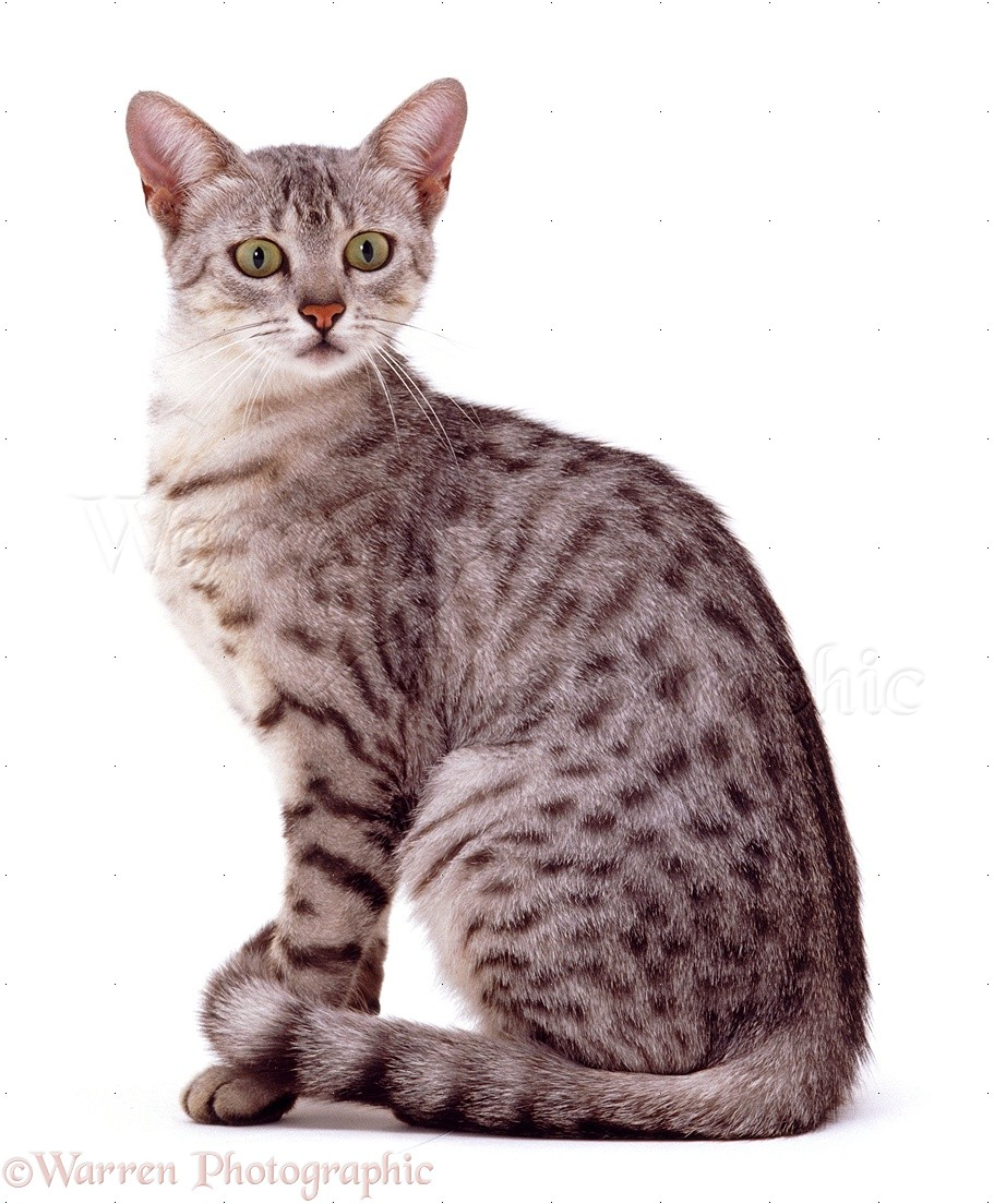 Silver Spotted Egyptian Mau Cat Sitting Photo Wp09625