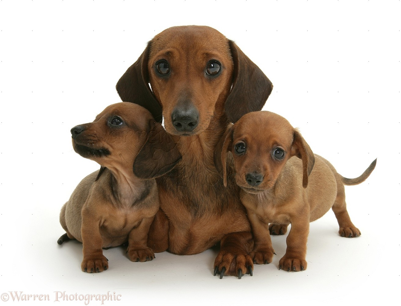 dogs and puppies publish with glogster