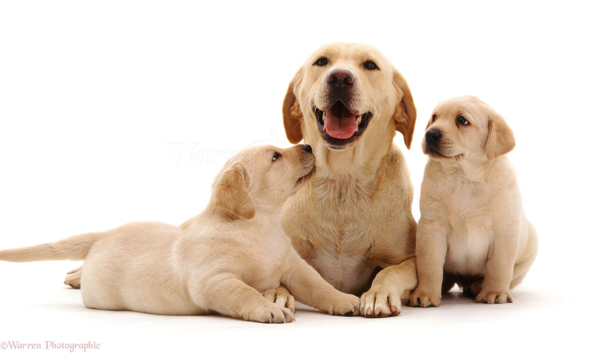 Dogs: Yellow Labrador with her two puppies photo WP09698