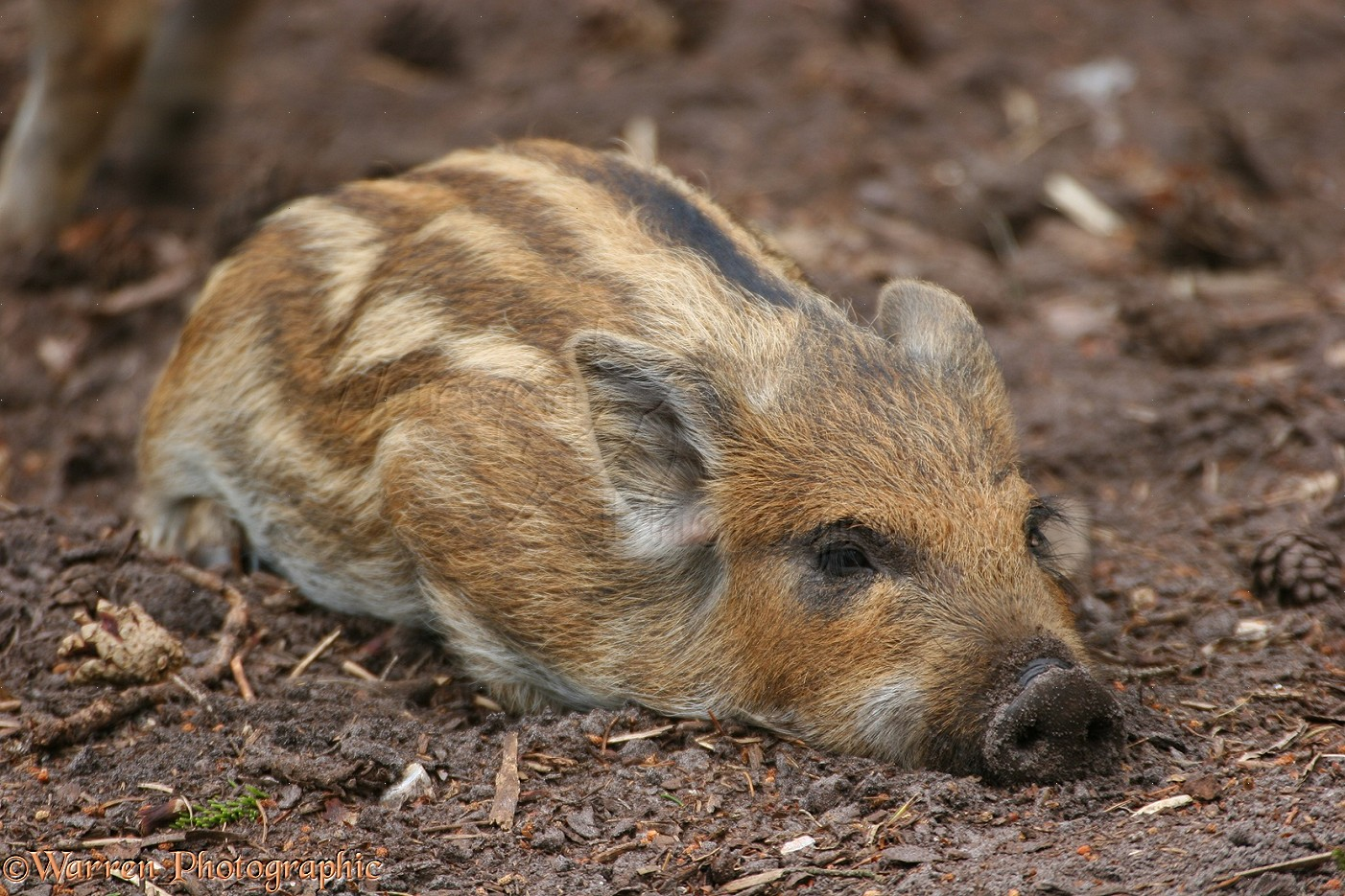 wild hog map with 09730 Wild Boar Piglet on BrownCreeperWinterMap moreover Royalty Free Stock Photo Warthog Running Hog Image26848495 further Stock Photos Porcupine Image2894713 additionally Hedgehogs moreover File Canis lupus dingo  Fraser Island.