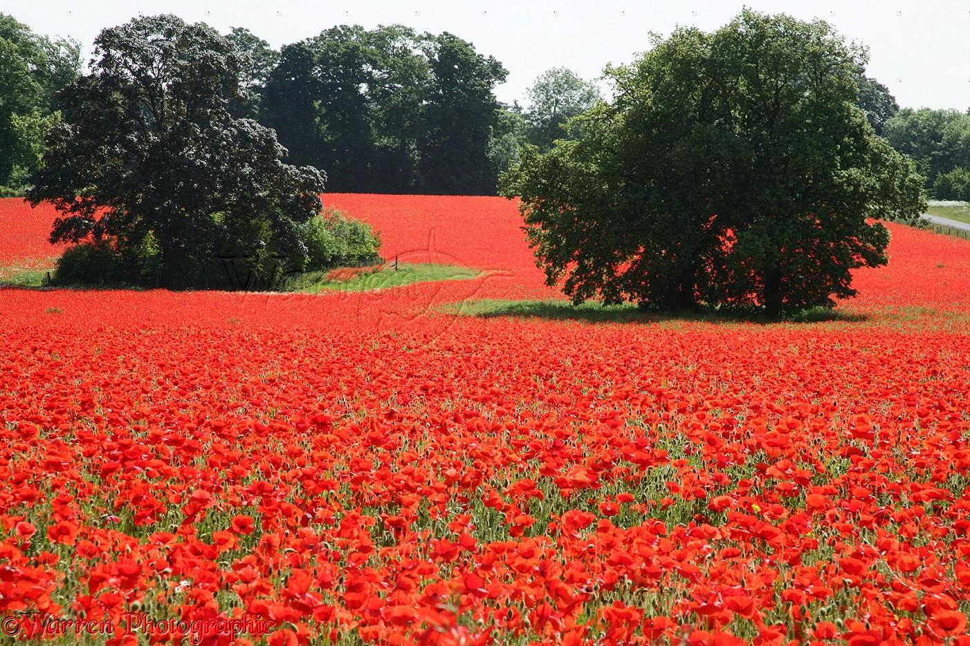 Poppy Field Photo Wp09738