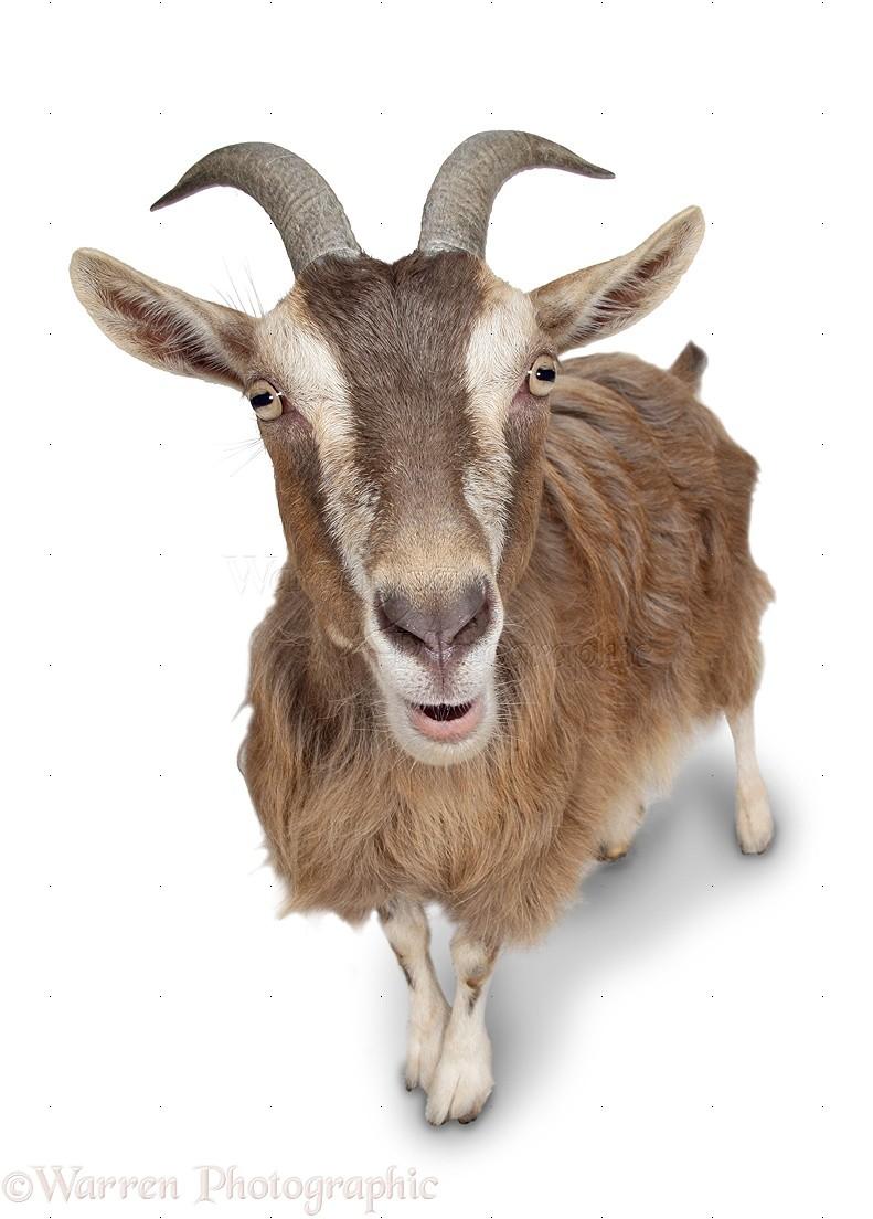 Pygmy x Toggenburg goat photo WP09755 One Goat White Background