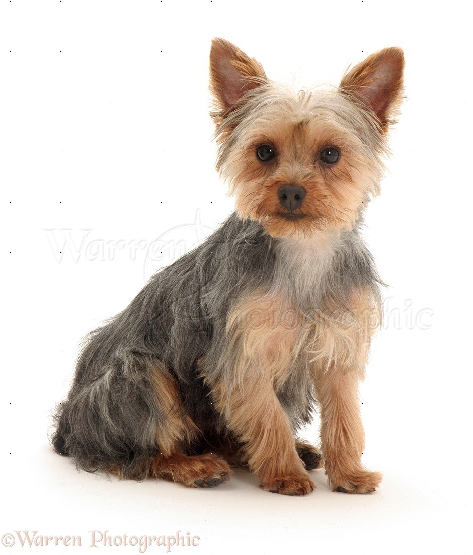 Coloring pictures yorkies - Wp09764 Yorkshire Terrier Tira Sitting