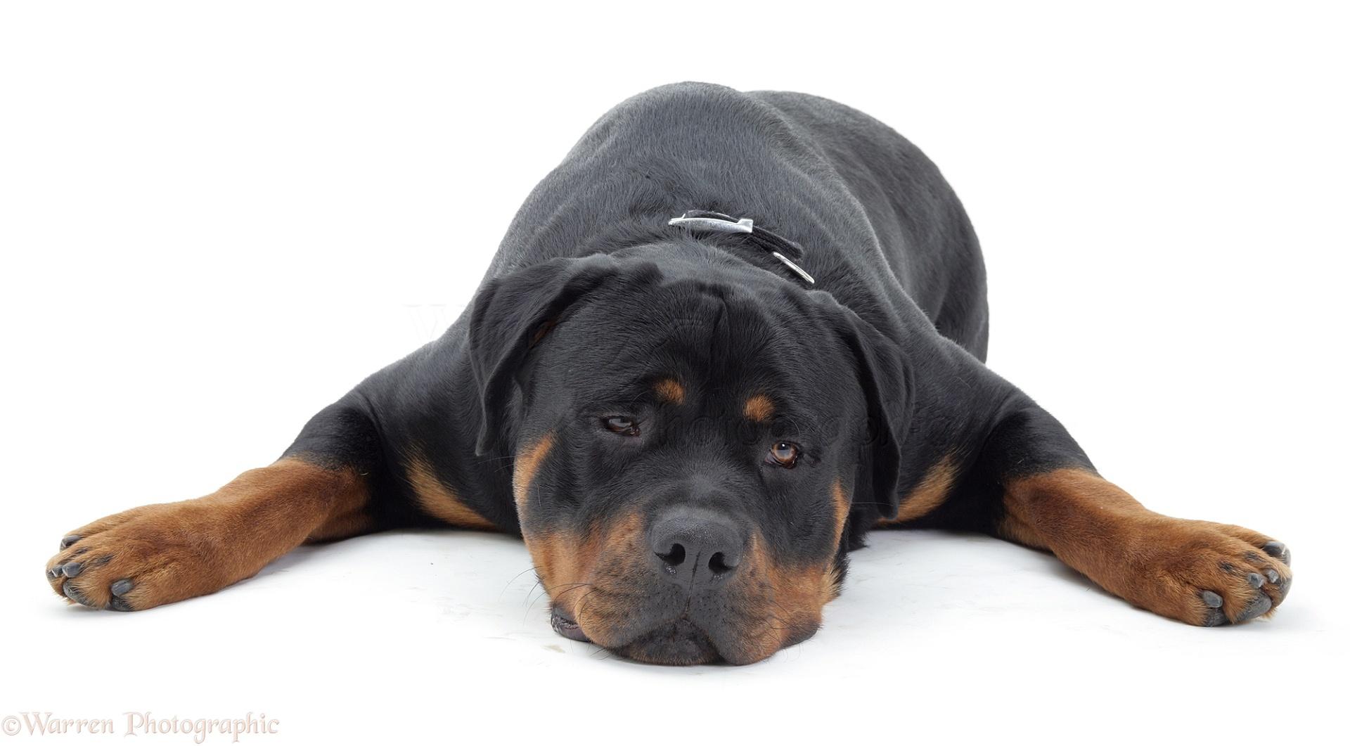 Dog: Rottweiler lying chin on floor photo WP09774