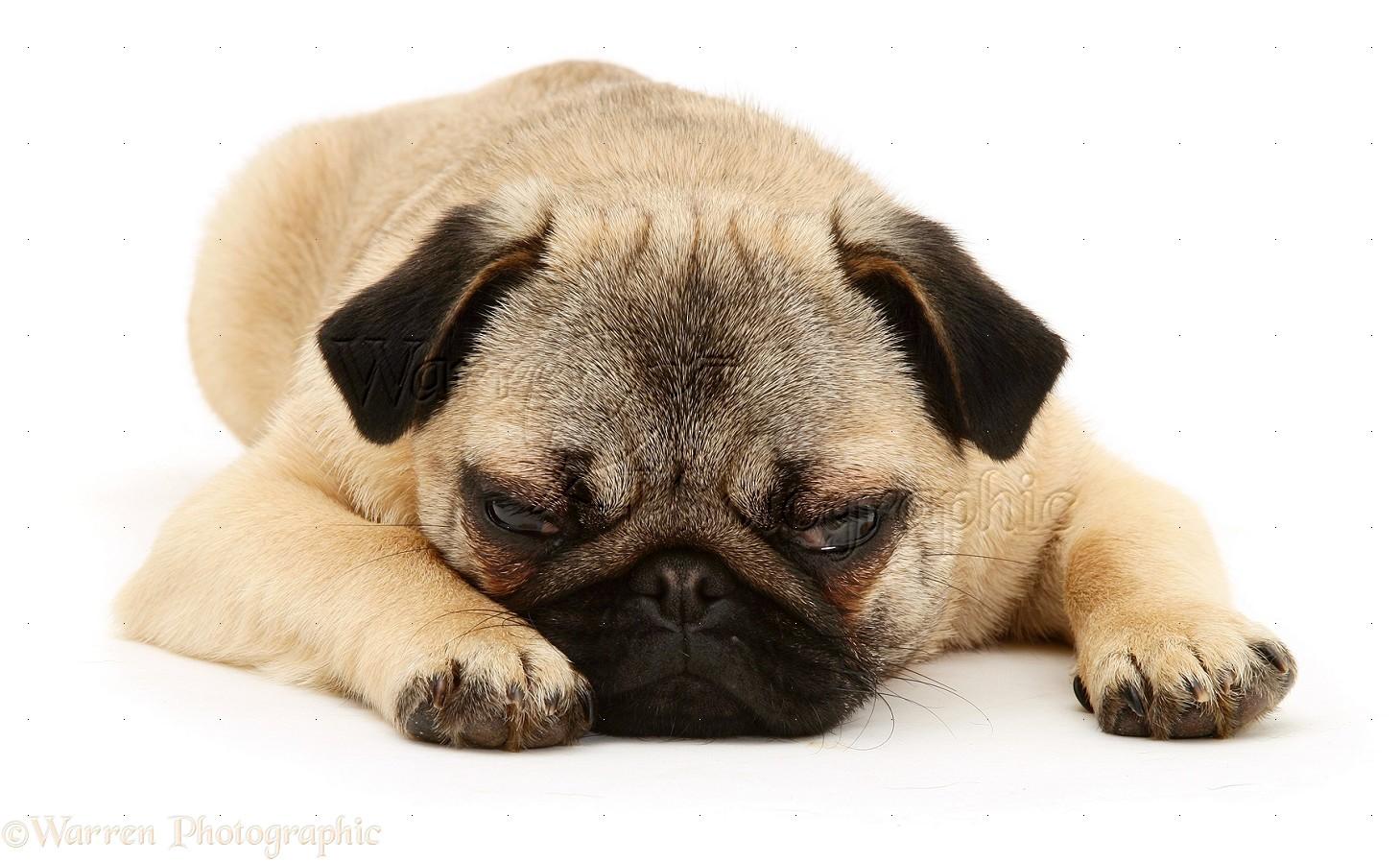 pug pugs photo dog breeds picture