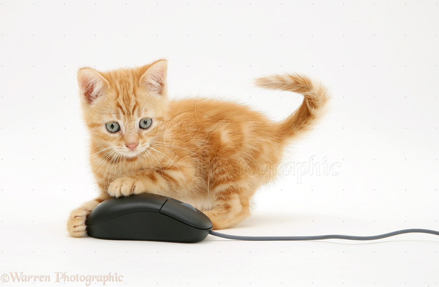 Wp09810 ginger kitten benedict with computer mouse