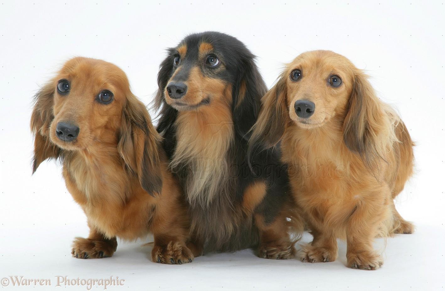 Wiener Dog Images Free