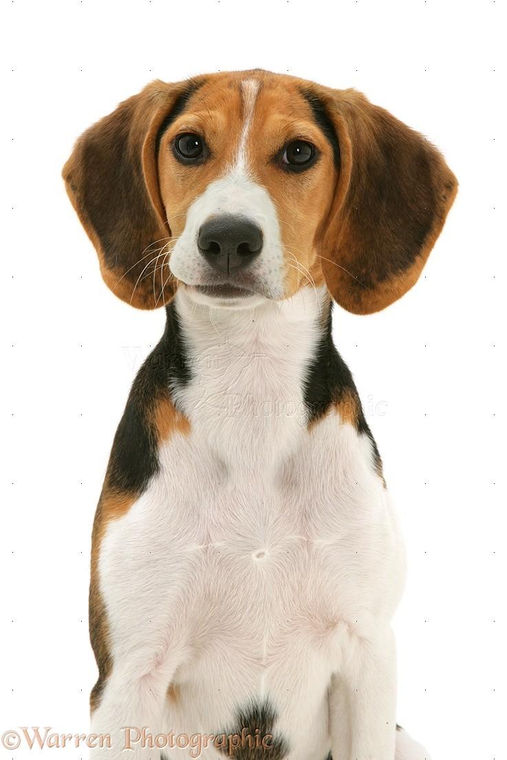 Dog Portrait Of Beagle Pup Photo Wp09847