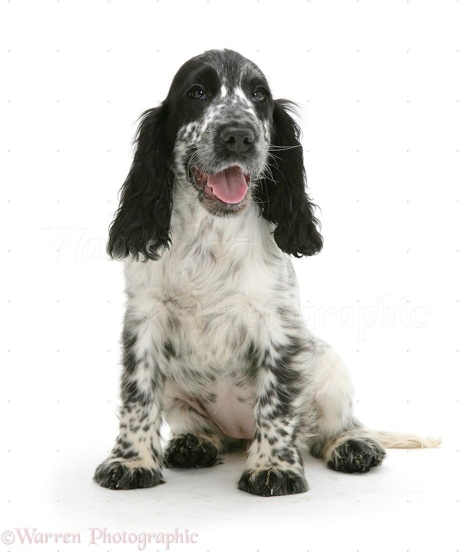 Dog Cocker Spaniel Pup Sitting Photo Wp09861