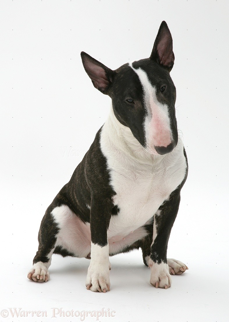 WP09866 Miniature Bull Terrier , Lily , sitting .