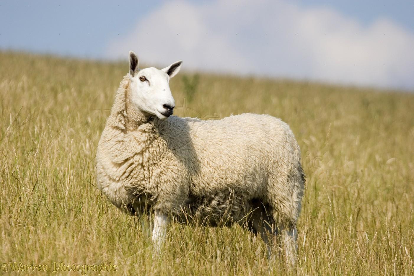 Sheep Photo Wp09909
