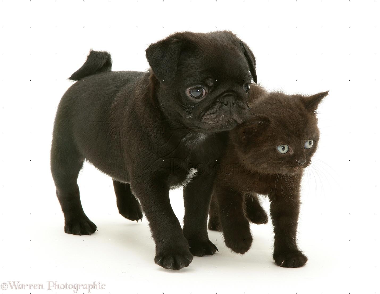 Pets Black Pug Pup With Black Kitten Photo Wp09917