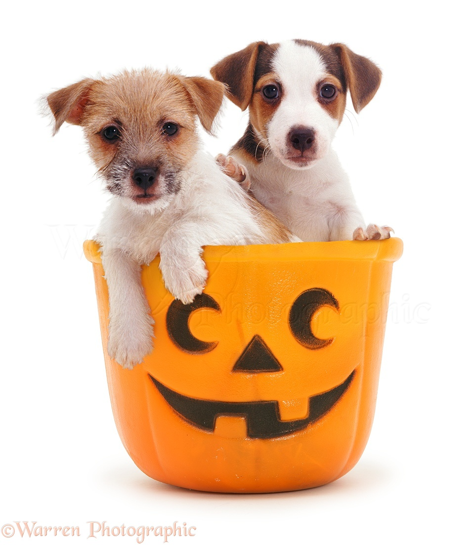 Dogs Jack Russell Pups In A Halloween Bucket Photo Wp10023