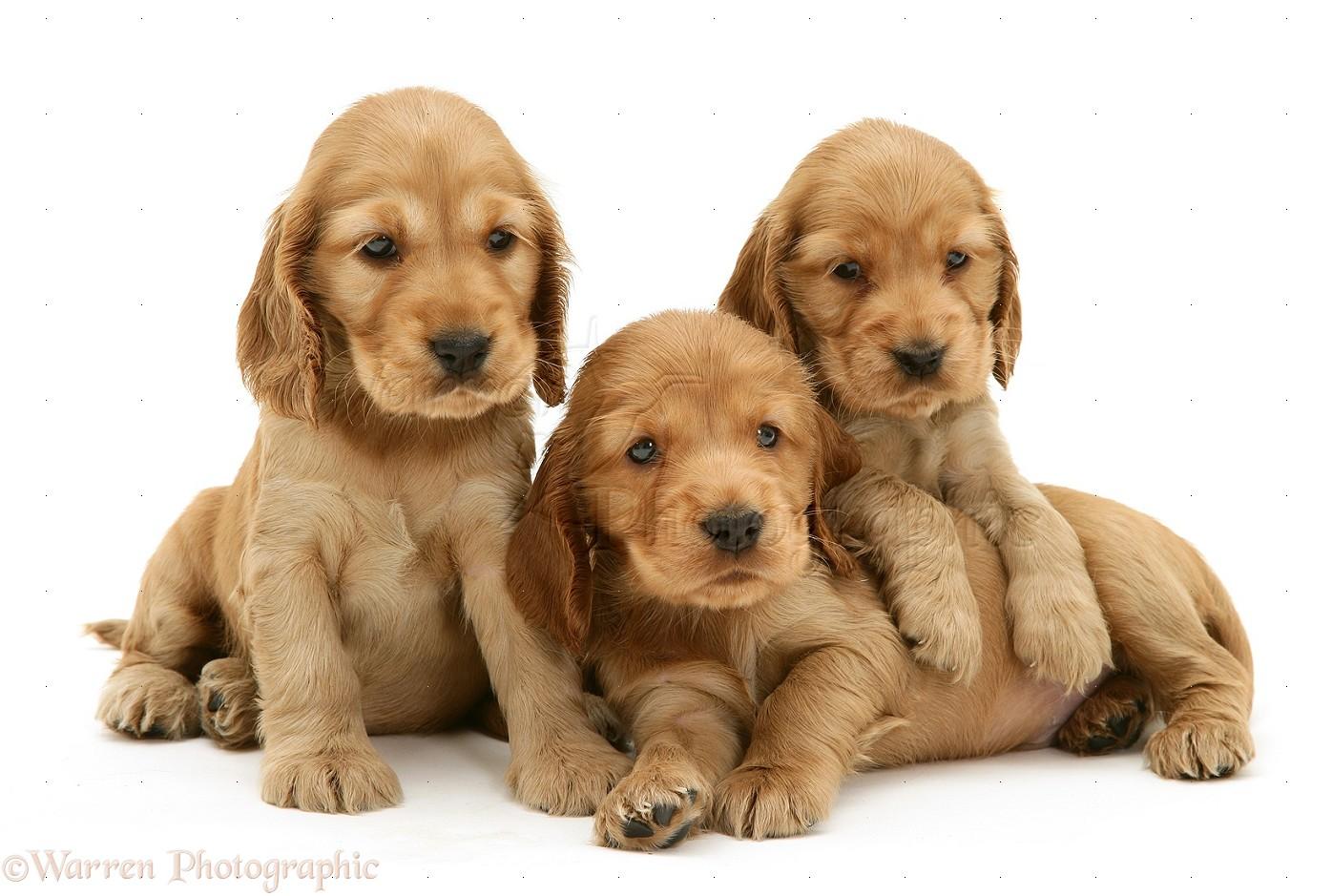 Dogs Three Golden Cocker Spaniel Pups Photo Wp10104
