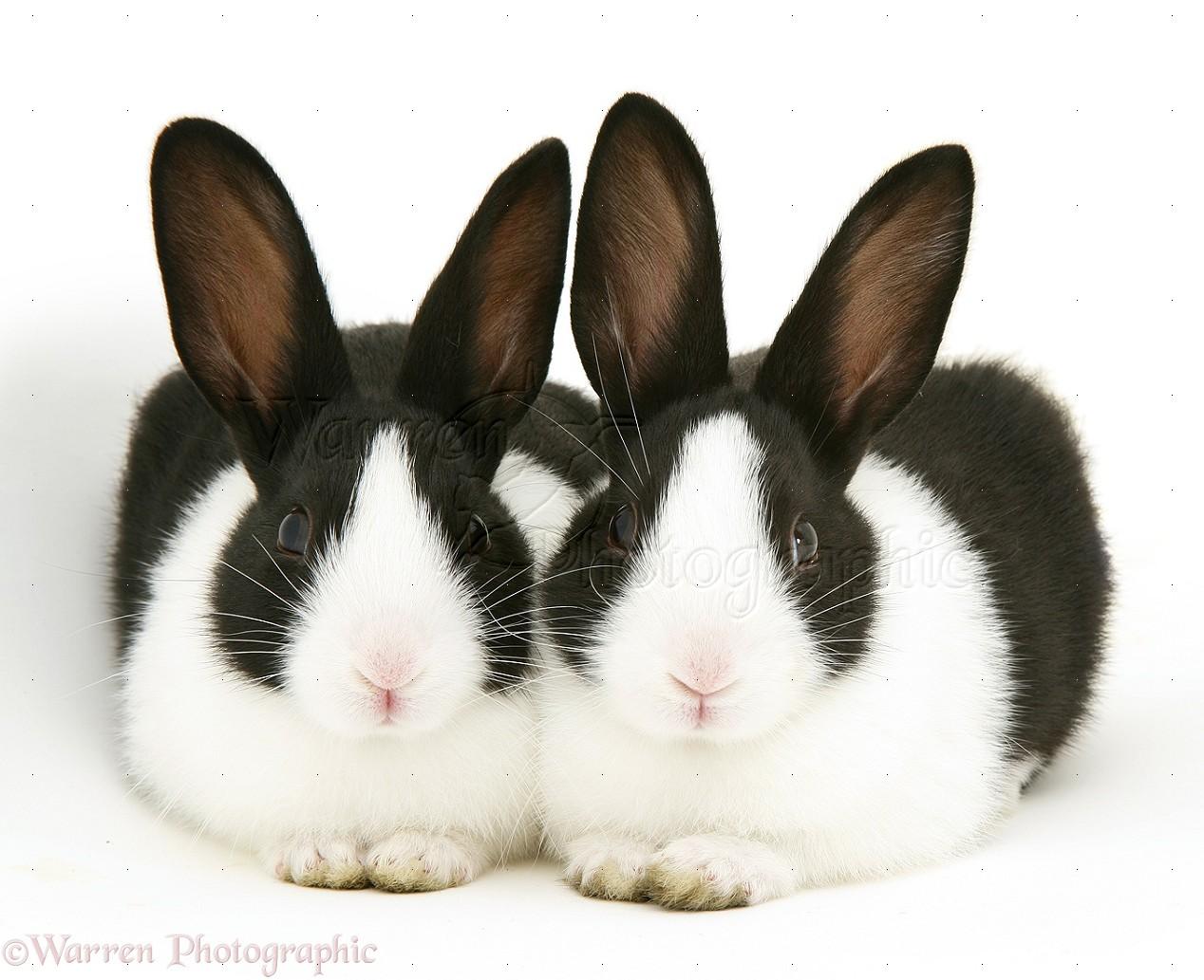 Black-and-white Rabbits Photo WP10109