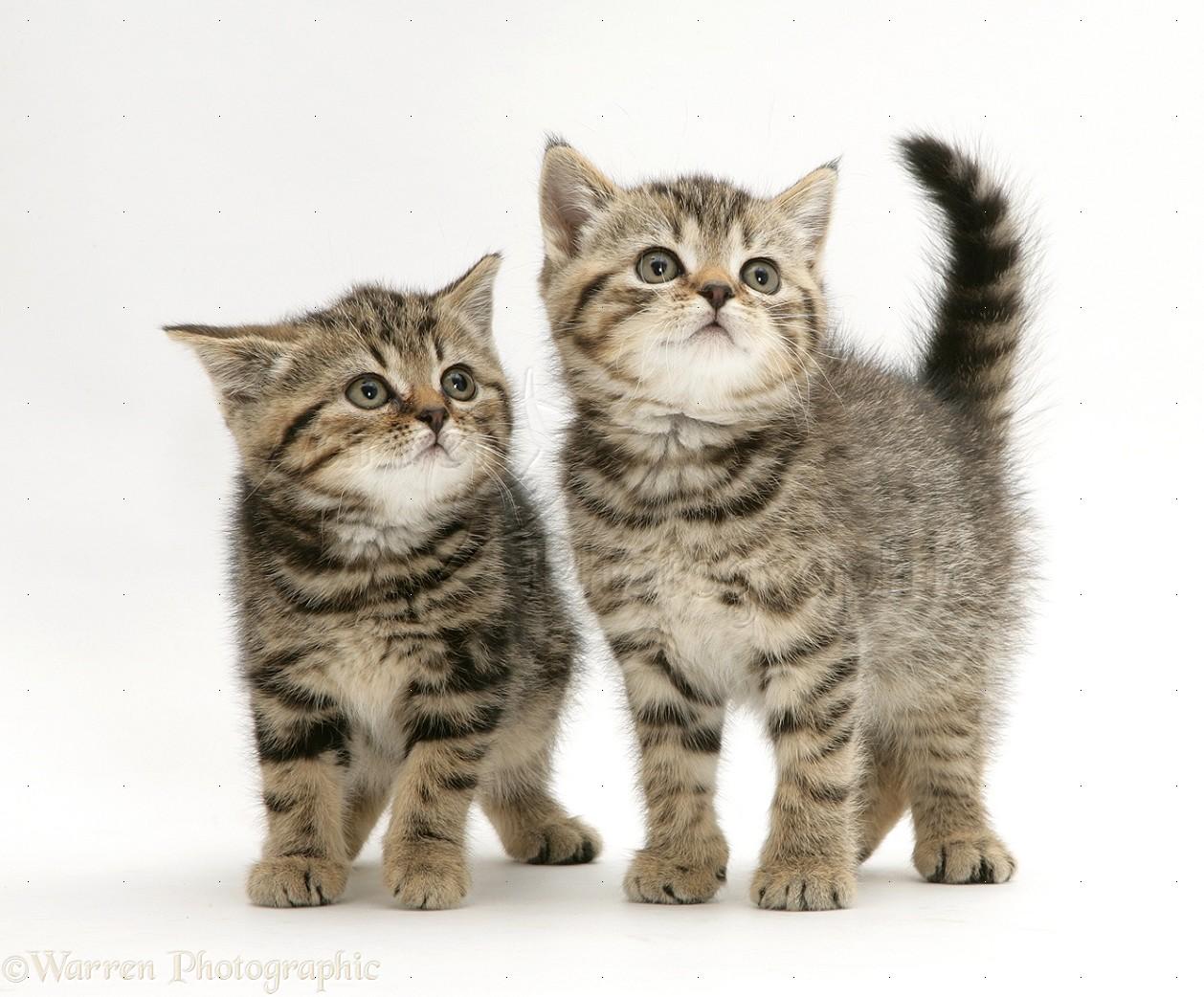 British Shorthair Brown Tabby kittens photo WP