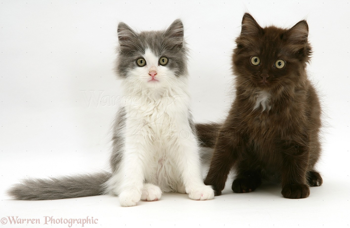 Grey And White And Chocolate Persian Cross Kittens Photo Wp10121