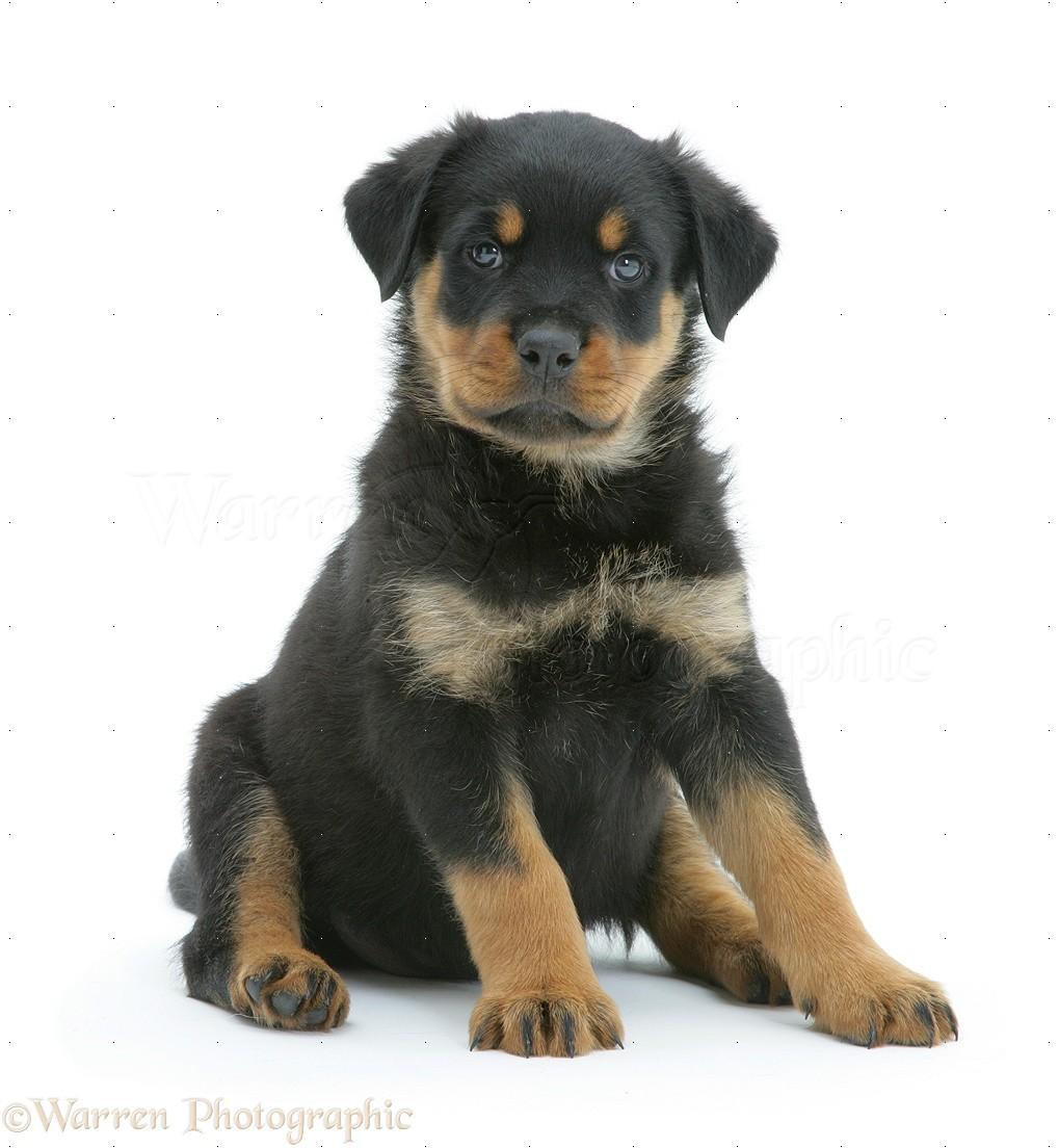 Wp10227 rottweiler puppy